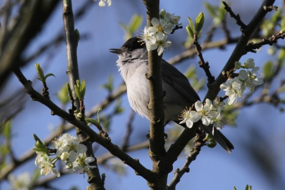 Blackcap male singing, 3 May 2013