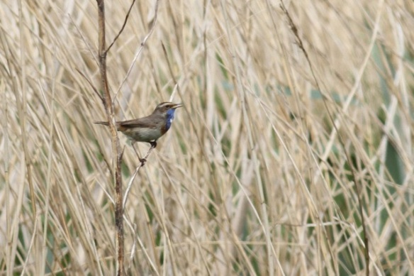 Bluethroat singing, Waverhoek, 19 May 2013