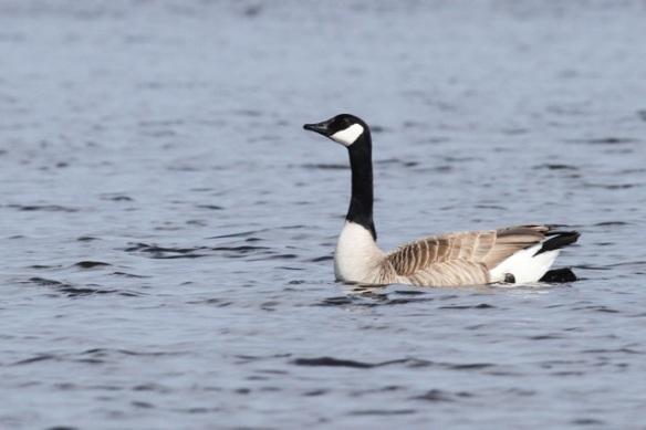 Canada goose, 19 May 2013