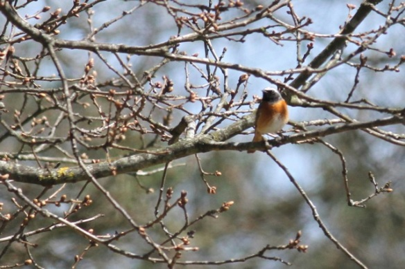 Common redstart, 1 May 2013