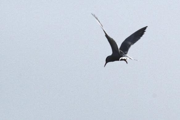 Common tern, 19 May 2013