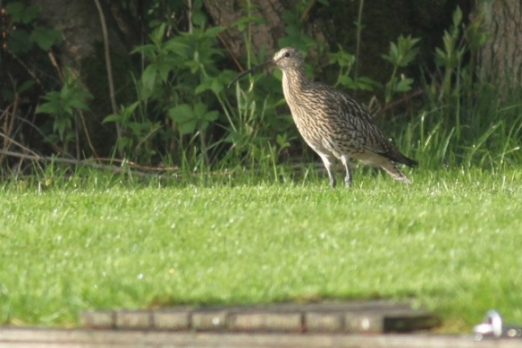 Curlew on meadow, 19 May 2013