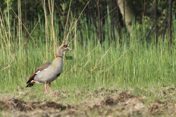 Egyptian goose, 19 May 2013