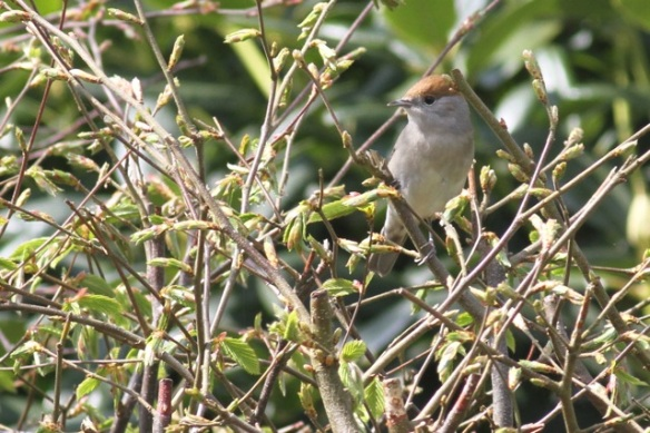 Female blackcap, 3 May 2013