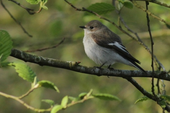 Female pied flycatcher, 4 May 2013
