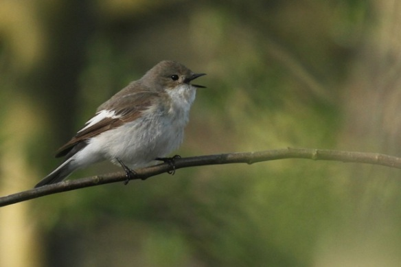 Female pied flycatcher singing, 4 May 2013