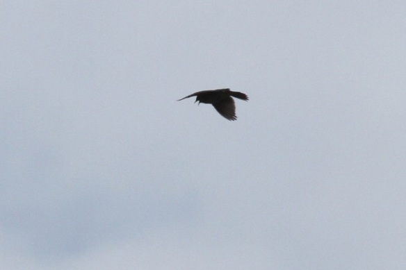 Flying skylark, 2 May 2013