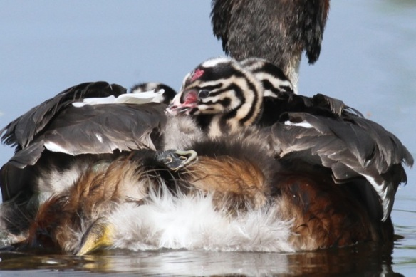 Grebe chick on back, 19 May 2013