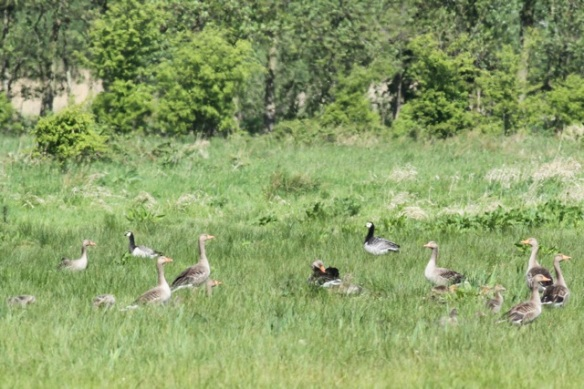 Grey lag and barnacle geese, 12 May 2013