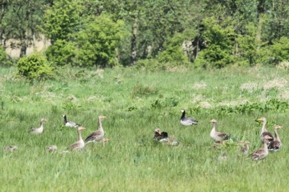 Grey lag and barnacle geese, 12 May 2013