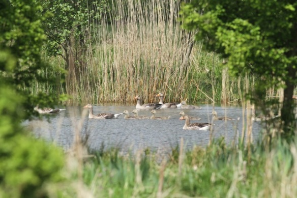 Grey lag geese and goslings, 12 May 2013