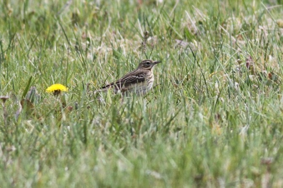 Meadow pipit, 2 May 2013