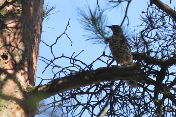 Mistle thrush, 1 May 2013