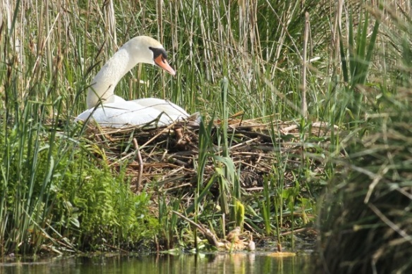 Mute swan on nest, 19 May 2013