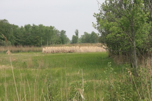 Nieuwkoopse Plassen scenery, reed harvested for roofs, 19 May 2013