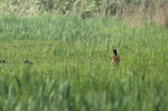 Pheasant male, Nieuwkoopse Plasen, 19 May 2013