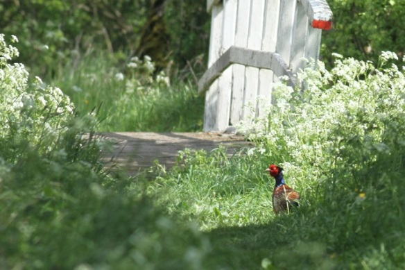 Pheasant male, Zouweboezem, 12 May 2013