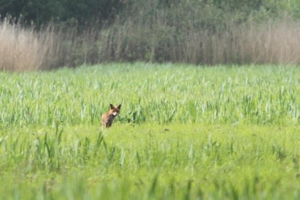 Red fox, 19 May 2013