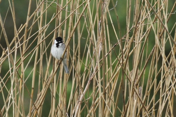 Reed bunting male, 12 May 2013