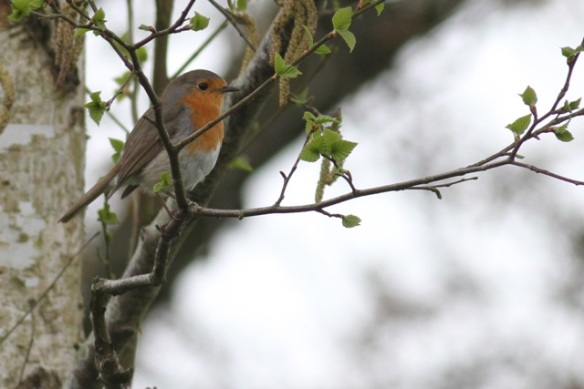 Robin, Drents-Friese wold, 3 May 2013