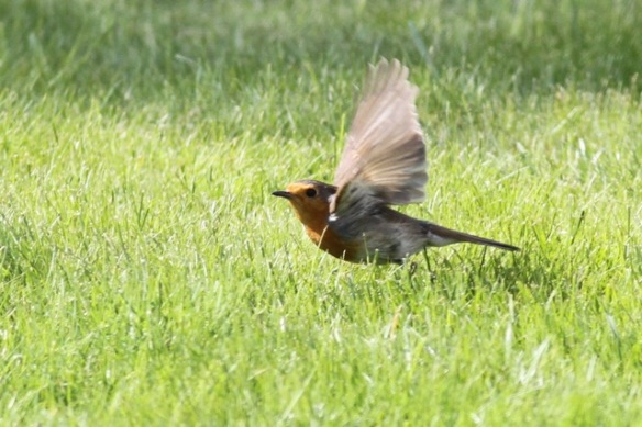 Robin flying, Drents-Friese wold, 3 May 2013
