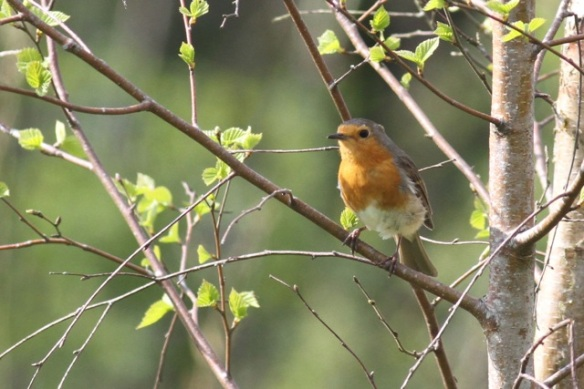 Robin in tree, Drents-Friese wold, 3 May 2013