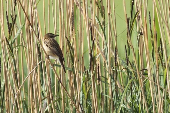Sedge warbler on reed stem, 19 May 2013