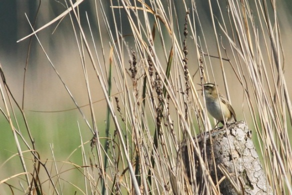 Sedge warbler on stump, 19 May 2013