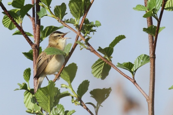 Sedge warbler singing, 12 May 2013