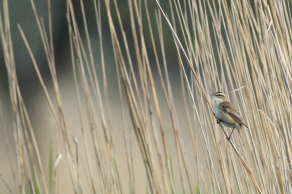 Sedge warbler still on reed stem, 19 May 2013