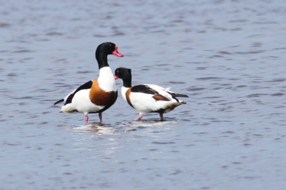 Shelducks, 19 May 2013