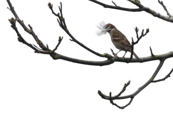 Tree sparrow with feather, 3 May 2013