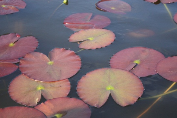 Water lily leaves, 19 May 2013