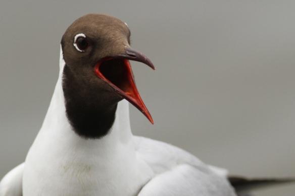 Adult black-headed gull, Starrevaart, 16 June 2013