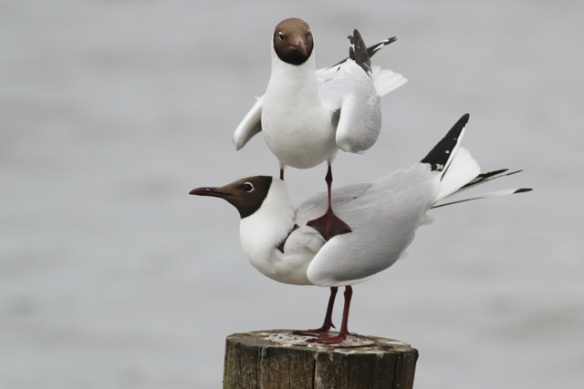 Adult black-headed gulls on top of each other, Starrevaart, 16 June 2013