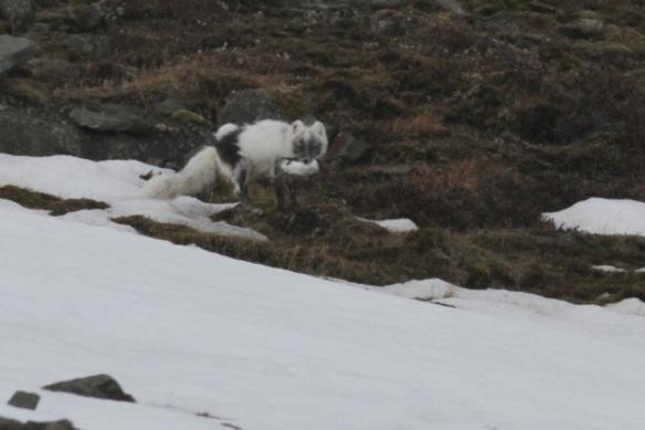 Arctic fox, Svalbard, 3 June 2013