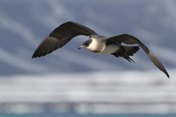 Arctic skua flying, Svalbard, 6 June 2013