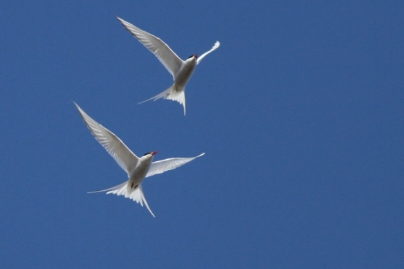 Arctic tern couple flying, Longyearbyen, Svalbard, 6 June 2013