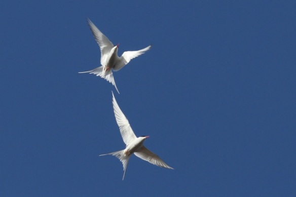 Arctic tern couple, Longyearbyen, Svalbard, 6 June 2013