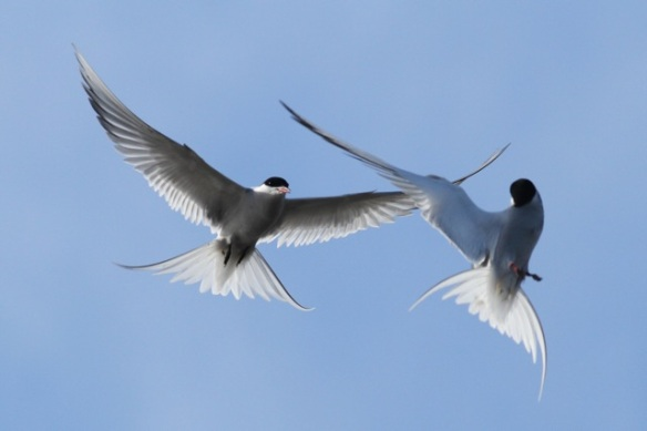 Arctic tern couple still flying, Longyearbyen, Svalbard, 6 June 2013