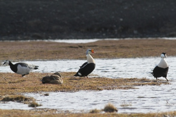Barnacle goose, king eider female and male, common eider male, Adventdalen, Svalbard, 4 June 2013