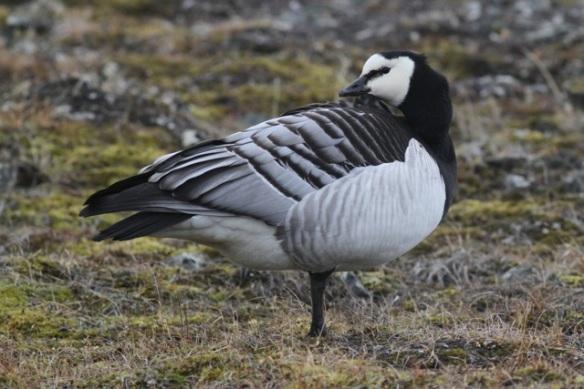Barnacle goose, Svalbard, 4 June 2013
