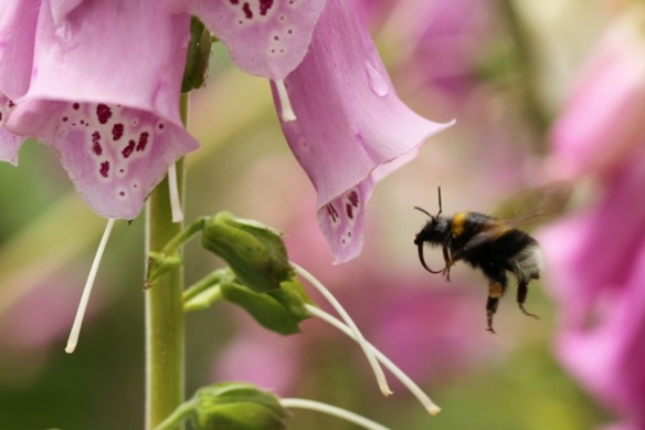 Buff-tailed bumblebee flying near lady's glove flower, 23 June 2013