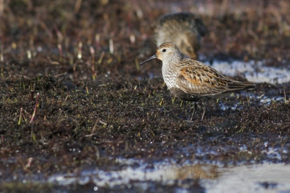 Dunlin and pectoral sandpiper in Adventdalen, Svalbard, 5 July 2013