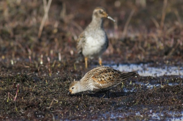 Dunlin and pectoral sandpiper still in Adventdalen, Svalbard, 5 July 2013