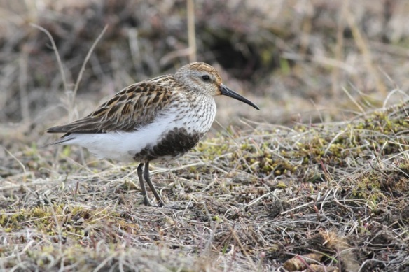 Dunlin in Adventdalen, Svalbard, 5 July 2013