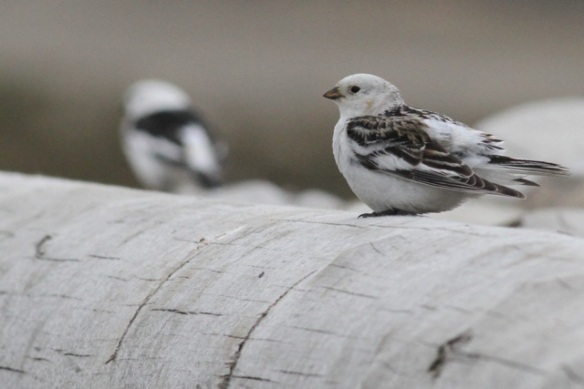 Female snow bunting, eider colony, Svalbard, 3 June 2013