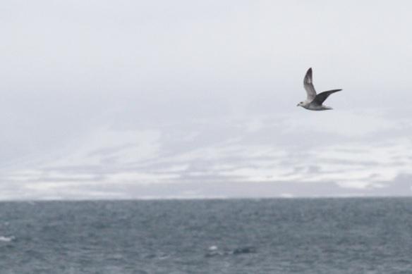 Fulmar, Svalbard, 4 June 2013
