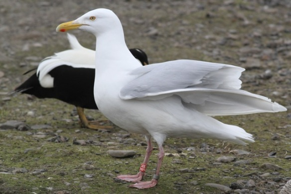 Glaucous gull, Svalbard, 3 June 2013