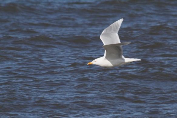 Glaucous gull, Svalbard, 6 June 2013